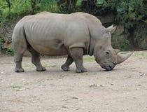 White rhinoceros ( Ceratotherium simum ) Royalty Free Stock Image