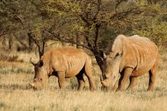 White rhinoceros and calf - South Africa Stock Photos