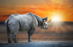White Rhinoceros Ceratotherium simum cottoni. Royalty Free Stock Photos