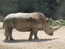 White rhinoceros ( Ceratotherium simum ) Royalty Free Stock Images