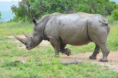 RHINO: A FRIEND IN NEED 08 royalty free stock photography