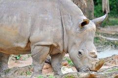 White rhinoceros, ceratotherium simum eating grass at the zoo Stock Photos