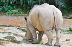 White rhinoceros, ceratotherium simum eating grass at the zoo Royalty Free Stock Image