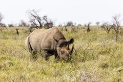 White rhinoceros, Ceratotherium simum. Etosha Nationalpark, Namibia Royalty Free Stock Image