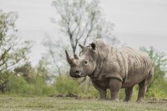 White Rhinoceros (Ceratotherium simum) Royalty Free Stock Photography