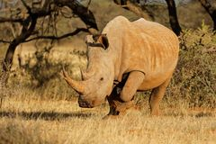 White rhinoceros in natural habitat Stock Photos