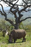 A white rhinoceros Ceratotherium simum in Hluhluwe–iMfolozi Park, South Africa. A white rhinoceros or square-lipped rhinoceros Ceratotherium simum in Royalty Free Stock Photo