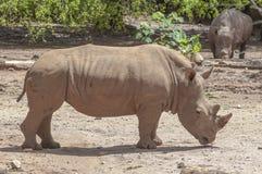 White Rhinoceros (Ceratotherium simum). Image of White Rhinoceros (Ceratotherium simum Royalty Free Stock Images