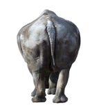White rhinoceros(Ceratotherium simum). Stock Photos