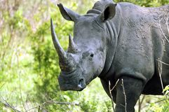 White rhinoceros (Ceratotherium simum). In Kruger National Park, South Africa Stock Photography
