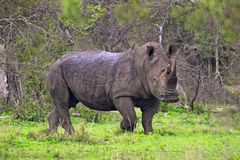 White rhinoceros (Ceratotherium simum). In Kruger National Park, South Africa Royalty Free Stock Image