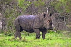 White rhinoceros (Ceratotherium simum) Royalty Free Stock Image