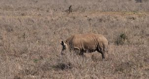 White Rhinoceros, ceratotherium simum, Mother and Calf, Nairobi Park in Kenya,. Real Time 4K stock footage