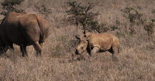 White Rhinoceros, ceratotherium simum, Mother and Calf, Nairobi Park in Kenya,. Real Time 4K stock video footage