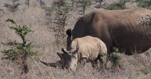 White Rhinoceros, ceratotherium simum, Mother and Calf, Nairobi Park in Kenya,. Real Time 4K stock video