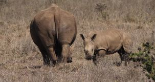 White Rhinoceros, ceratotherium simum, Mother and Calf Suckling, Nairobi Park in Kenya,. Real Time 4K stock footage