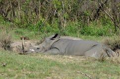 White rhinoceros (Ceratotherium simum). In mudbath in Kruger National Park, South Africa Stock Images