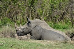 White rhinoceros (Ceratotherium simum). In mudbath in Kruger National Park, South Africa Royalty Free Stock Photos