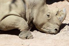 White rhinoceros Ceratotherium simum Stock Photography