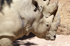 White rhinoceros Ceratotherium simum Stock Photography