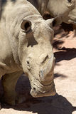 White rhinoceros Ceratotherium simum Stock Photo