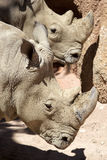 White rhinoceros Ceratotherium simum Royalty Free Stock Photography