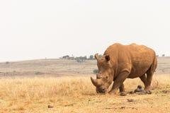 White rhinoceros (Ceratotherium simum). In Rhino and Lion Nature Reserve Stock Photo