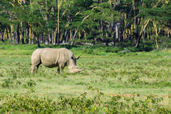 White rhinoceros or Ceratotherium simum in savanna. White rhinoceros or Ceratotherium simum grazing in national park Lake Nakuru, Kenya Royalty Free Stock Images
