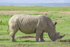 White rhinoceros or Ceratotherium simum in savanna. White rhinoceros or Ceratotherium simum grazing in national park Lake Nakuru, Kenya Royalty Free Stock Photo
