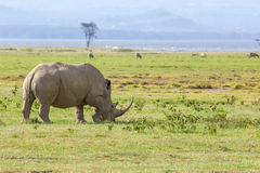 White rhinoceros or Ceratotherium simum in savanna. White rhinoceros or Ceratotherium simum grazing in national park Lake Nakuru, Kenya Royalty Free Stock Photos