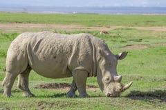 White rhinoceros or Ceratotherium simum in savanna. White rhinoceros or Ceratotherium simum grazing in national park Lake Nakuru, Kenya Stock Photos