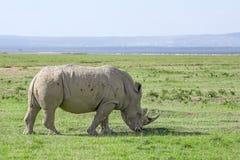 White rhinoceros or Ceratotherium simum in savanna. White rhinoceros or Ceratotherium simum grazing in national park Lake Nakuru, Kenya Royalty Free Stock Photography