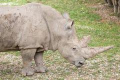 White rhinoceros, Ceratotherium simum. Side view of a white rhinoceros or square-lipped rhinoceros, Ceratotherium simum. These rhinos live in South Africa Royalty Free Stock Photos