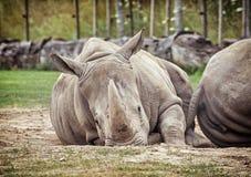 White rhinoceros (Ceratotherium simum simum), animals scene. White rhinoceros (Ceratotherium simum simum). Animals scene. Critically endangered species Stock Images