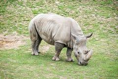 White rhinoceros - Ceratotherium simum simum. Big White rhinoceros - Ceratotherium simum simum. Animal scene. Critically endangered animal species Royalty Free Stock Photo