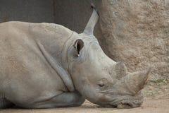 White rhinoceros (Ceratotherium simum). Southern white rhinoceros (Ceratotherium simum simum). Wildlife animal Stock Photos