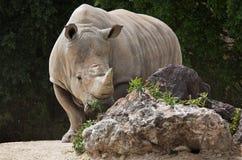 White rhinoceros Ceratotherium simum. White rhinoceros or square-lipped rhinoceros Ceratotherium simum Royalty Free Stock Photos