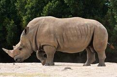 White rhinoceros Ceratotherium simum. White rhinoceros or square-lipped rhinoceros Ceratotherium simum Stock Photo