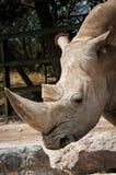 White rhinoceros Ceratotherium simum. White rhinoceros or square-lipped rhinoceros Ceratotherium simum Royalty Free Stock Images