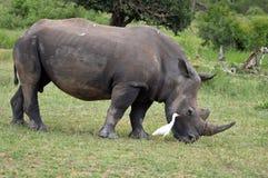 White rhinoceros (Ceratotherium simum) Royalty Free Stock Photo