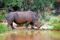White rhinoceros (Ceratotherium simum). Royalty Free Stock Image