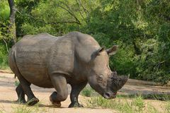 White rhinoceros (Ceratotherium simum) Royalty Free Stock Images