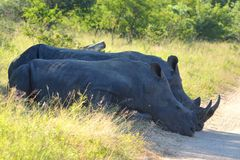 White rhinoceros (Ceratotherium simum). Royalty Free Stock Photography