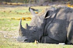 White rhinoceros (Ceratotherium simum) Royalty Free Stock Photo