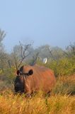 White rhinoceros (Ceratotherium simum). Stock Photo
