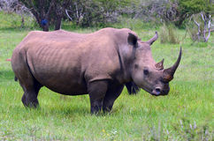 White rhinoceros (Ceratotherium simum) Stock Photo