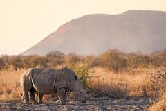 White rhinoceros Ceratotherium simum. The white rhinoceros or square-lipped rhinoceros Ceratotherium simum is the largest species of rhinoceros that exists. It Stock Images