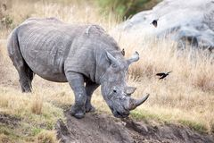 White Rhinoceros (Ceratotherium simum). The White Rhinoceros or Square-lipped rhinoceros (Ceratotherium simum) is one of the five species of rhinoceros that Royalty Free Stock Images
