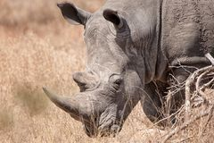White Rhinoceros (Ceratotherium simum). The White Rhinoceros or Square-lipped rhinoceros (Ceratotherium simum) is one of the five species of rhinoceros that Stock Image