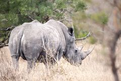 White Rhinoceros (Ceratotherium simum). The White Rhinoceros or Square-lipped rhinoceros (Ceratotherium simum) is one of the five species of rhinoceros that Royalty Free Stock Photography